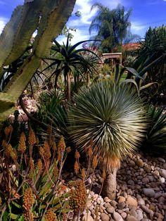 Yucca Rostrata, Beaked Yucca, Blue Yucca. Now at Xersia Garden California.