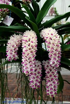 Rare Cymbidium orchid seeds African Cymbidiums seeds,Phalaenopsis bonsai flower seeds for home garden potted orchis plant Strange Flowers, Unusual Flowers, Amazing Flowers, Diy Flowers, Beautiful Flowers, Orchids Garden, Orchid Plants, Exotic Plants, Unusual Plants