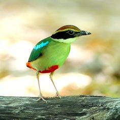 Fairy Pitta (Pitta nympha) -- a small brightly colored pitta that breeds in Japan, South Korea, mainland China, and Taiwan and winters mainly on the island of Borneo. Migrants have been recorded from North Korea, Vietnam, and Hong Kong. The total population of Fairy Pittas is small and declining, mainly as a result of deforestation in its breeding range. (BirdLife International 2000; Erritzoe 2003)