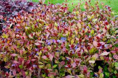 Ceratostigma plumbaginoides  (loodkruid), langbloeiend, kleine blauwe bloempjes, blad verkleurt naar rood, staat graag op een droge plek, geschikt voor rotstuin, plantenbakken, stroken langs paden