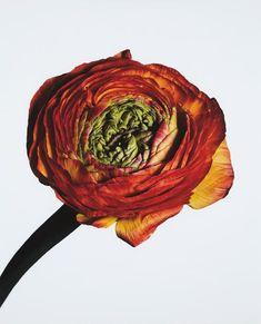 PHILLIPS : NY040115, Irving Penn, Ranunculus/ Ranunculus asiaticus: Picotee (New York)