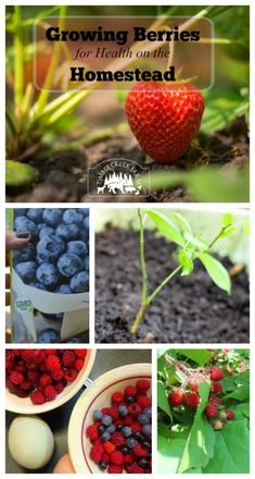 Growing blueberries, strawberries, raspberries and blackberries is a great way to add nutritional food to your back yard. These berries will produce year after year adding value Strawberry Garden, Strawberry Plants, Fruit Garden, Edible Garden, Veggie Gardens, Flowers Garden, Blueberry Plant, Blueberry Bushes, Organic Gardening