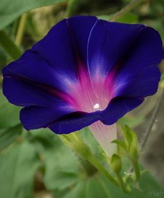 I love this variety of Morning Glory my sister has in her garden. The inside seems to glow!