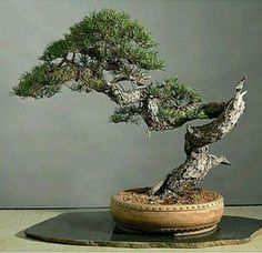 Bonsai Pruning, Bonsai Garden, Juniper Bonsai, Bonsai Styles, Indoor Bonsai, Single Tree, Miniature Trees, Terraria Tips, Tropical Plants