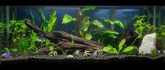 Planted Tank and Aquarium discussion forum. 20 Gallon Long Aquarium, 10 Gallon Fish Tank, Aquarium Set, Tropical Fish Aquarium, Aquarium Design, Aquarium Fish Tank, Fish Tanks, Planted Betta Tank, Planted Aquarium