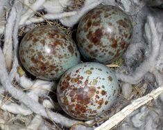 Mocking bird eggs Blue Eggs, Green Eggs, Mocking Birds, Mocking Jay, Egg Photo, Egg Nest, State Birds, Backyard Birds, Bird Pictures