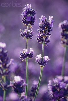Lavender on a field