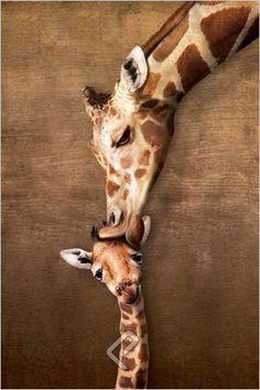 A Giraffe Mother's Kiss - Wildlife Poster, 24x36