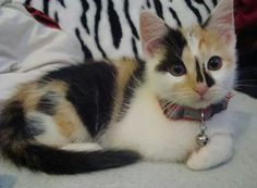calico kitten with collar & bell