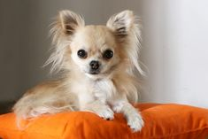 One of 10 Best Breeds for Laid Back People: Chihuahua, a cuddly couch potato    #2 – Bichon Frise  Bichons are …