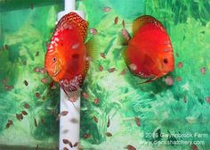 discus fish photos most recent | Most of our discus breeding pairs are kept in 50 gallon aquariums.This ...