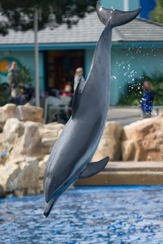 A #dolphin frolics and flies at @SeaWorld