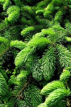 Green by junma  Can almost smell the fragrance of the evergreen..