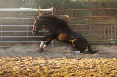 "amlequinephotoandart: "" Anjo Lusitano (PSL) stallion breeded in Portugal (owner: Tiago Lucas). https://www.facebook.com/AnaMartaLouraEquestrianPhotography """