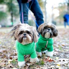 Maggie & Murphy, Shih Tzus (6 & 1 y/o), Central Park, New York, NY