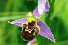 L'Ophrys abeille excelle dans l'art du faux. Par Julie Robert