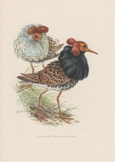 1957 Ruff Bird Vintage Print Old Lithograph by Craftissimo on Etsy, €12.95