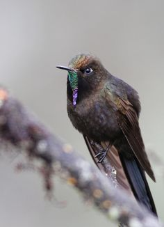 Blue-Mantled Thornbill (Chalcostigma stanleyi) is a species of hummingbird. It is found in Bolivia, Ecuador, and Peru.
