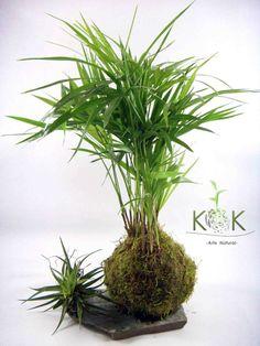 Kokedama Palmito - Kok Arte Natural