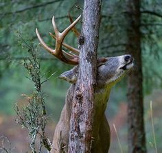 How to Read a Rub and Find a Buck Fast | Field & Stream
