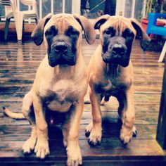 Bull Mastiff brothers #mybabies