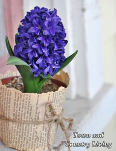 Hyacinth in a garden pot wrapped with a book page