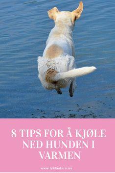 Tips for å kjøle ned hunden i varmen. Dog Cleaning, Dinosaur Stuffed Animal, Corgi, Healthy, Tips, Animals, Corgis, Animales, Animaux