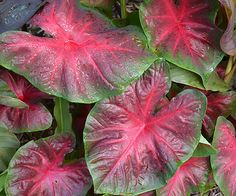 Named for a look-alike frog, the caladium 'Red Bellied Tree Frog' is a vibrant and tropical addition for your garden: http://www.bhg.com/gardening/gardening-trends/new-annuals-for-2015/?socsrc=bhgpin041815caladiumredbelliedtreefrog&page=9