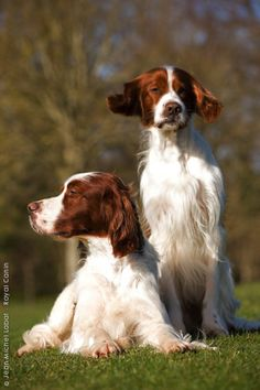 IRISH RED AND WHITE SETTER-Love my Irish, and love the Gordon's and English too but Red/White totally amaze me in their beauty!!!!