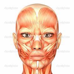 human female muscle anatomy - Google Search
