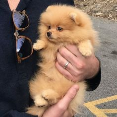 Cute or not? 😍 Rate this cuteness out of 10 💖 - Pomeranian White Teacup Husky Haircuts Images Mix - Puppies Cute Funny Animals, Cute Baby Animals, Animals And Pets, Teacup Pomeranian, Pomeranian Puppy, Pomeranian Haircut, Pomsky, Yorkie Dogs, Cute Puppies