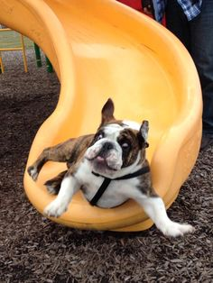 Bulldog Lover Nikki Carvey takes a look at English Bulldogs and why they make such great pets. Dog Photos, Dog Pictures, Animal Pictures, Funny Pictures, Funny Images, Animals Photos, Bing Images, Funny Dogs, Funny Animals