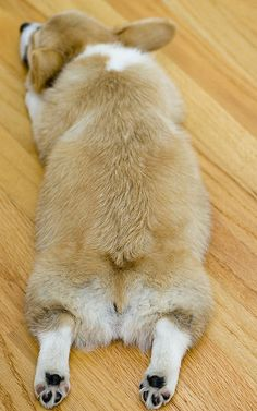 Flying Corgi! | Cute Pembroke Welsh Corgi puppy Olwen via Flickr - Photo Sharing! © Mike Bostock mbostock
