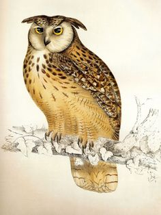Bubo bengalensis antique owl ornithology print by John Gould