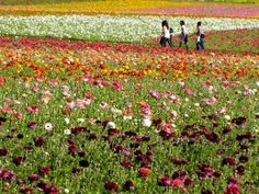 The flower fields in Carlsbad are still in bloom and lovely to see!