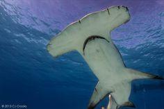 Bimini Sharklab - Shark Research & Marine Biology Internships - Research Experience