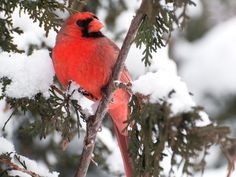 Rotkardinal: Vogel in verschneiter Kulisse — Bild: Shutterstock / KellyNelson    www.einfachtierisch.de