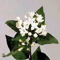 white bouvardia for the bouquets