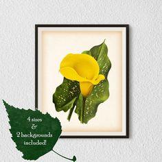 Antique flower print, Calla lily, Botanical Illustration, Flower poster, Flower wall art, Flower print vintage, Digital download, Prints #32
