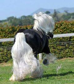 St. Clarins_choc silver dapple stallion