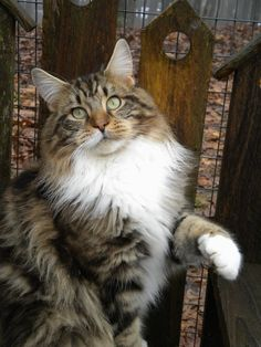 This could be Mom's Tammy. Littermate of my cat Scout, they were taken from us too soon. Hope Mom is taking good care of all her furbabies like they are taking care of her.
