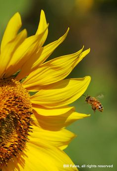Honey Bees and Sunflowers.