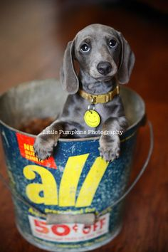 A silver wiener dog! I want one, I need one!