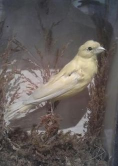 Walter Potter's taxidermy Canary
