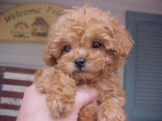 PUPPIES!!! i love puppies. apricot colored mini poodles to be more exact. this is not my puppy specifically... but isnt this one just adorbs?