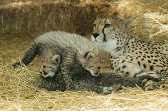 baby Cheetahs at Schoenbrunn Zoo