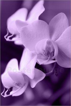 Lila Orchideen Bilder: Poster von Emotion-Art bei Posterlounge.de