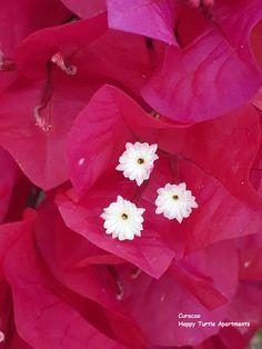 De bougainville staat er weer prachtig bij. Wat een kleuren. # HappyTurtleApartmenten #Curacao Flower Background Wallpaper, Flower Backgrounds, Happy Turtle, Rose, Flowers, Plants, Pink, Plant, Roses