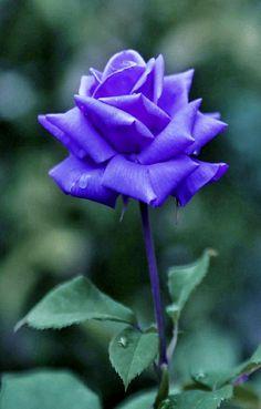 Beautiful Flowers, Most Beautiful, Purple Roses, Plants, Beauty, Flowers, Purple Rose, Plant, Beauty Illustration