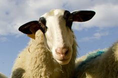 Historique: L'agneau fermier du Quercy - Site officiel